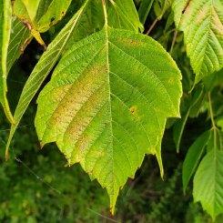 Box Elder (Acer negundo) Leaf
