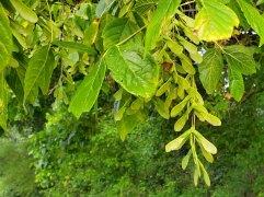 Box Elder (Acer negundo) Seeds