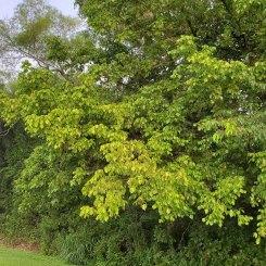 Box Elder (Acer negundo) Tree