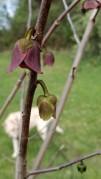 Pawpaw (Asimina triloba) Blooms & Annie