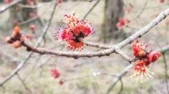 Red Maple (Acer rubrum) Bloom