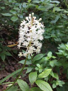 Fly Poison (Amianthium muscitoxicum)