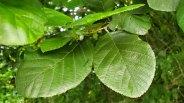 an Alder (Alnus sp.) Leaf
