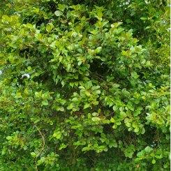 an Alder (Alnus sp.) Tree