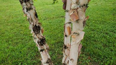 European White Birch (Betula pendula*) Bark