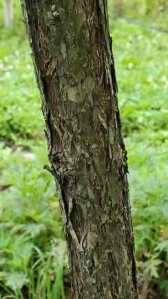 Button Bush (Cephalanthus occidentalis) Bark