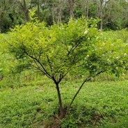 Button Bush (Cephalanthus occidentalis) Bush