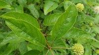 Button Bush (Cephalanthus occidentalis) Leaves