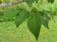 European Hornbeam (Carpinus betulus*) Leaf