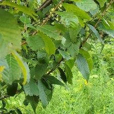 European Hornbeam (Carpinus betulus*) Leaves