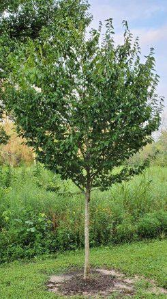 European Hornbeam (Carpinus betulus*) Tree