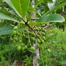 Fringe Tree (Chionanthus virginicus) Fruit