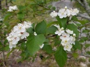 Green Hawthorn (Crataegus viridis) Blooms