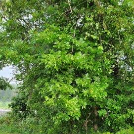 Mockernut Hickory (Carya tomentosa) Tree