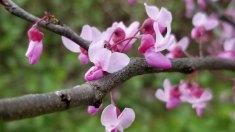 Redbud (Cercis canadensis) Bloom