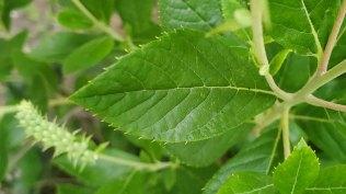 Summersweet (Clethra alnifolia) Leaf