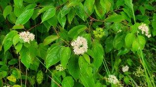 Swamp Dogwood (Cornus amomum)