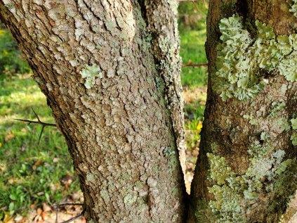 Washington Hawthorn (Crataegus phaenopyrum) Bark