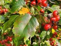 Washington Hawthorn (Crataegus phaenopyrum) Leaf & Berries