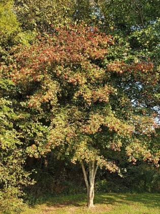 Washington Hawthorn (Crataegus phaenopyrum) Tree