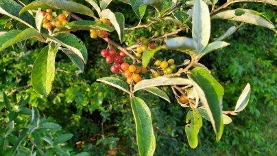 an Olive (Elaeagnus sp.*) Berries
