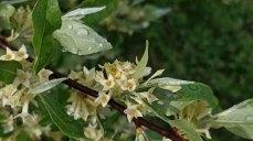 an Olive (Elaeagnus sp.*) Blooms