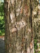 European Beech (Fagus sylvatica*) Bark