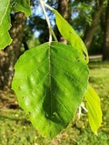 European Beech (Fagus sylvatica*) Leaf