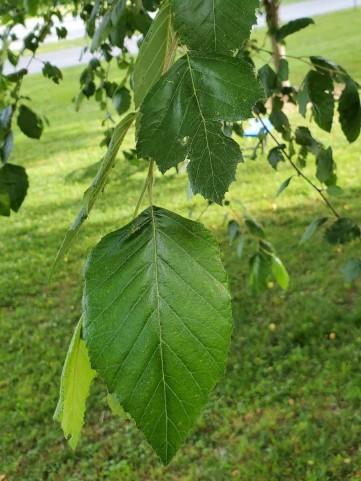 European Beech (Fagus sylvatica*) Leaves