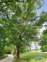 European Beech (Fagus sylvatica*) Tree
