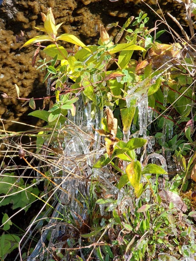 Balsam Mountain Gentians & Icicles!