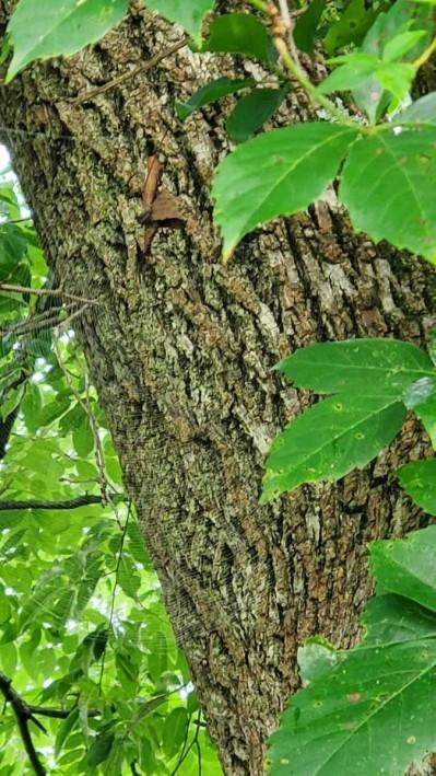 Black Walnut (Juglans nigra) Bark