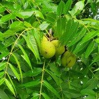 Black Walnut (Juglans nigra) Fruit