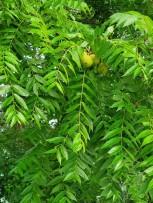 Black Walnut (Juglans nigra) Leaves