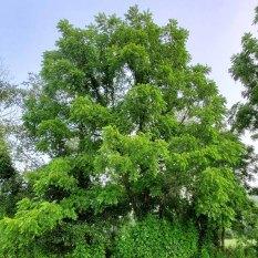 Black Walnut (Juglans nigra) Tree