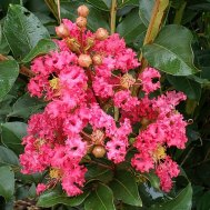 Crapemyrtle (Lagerstroemia indica*) Bloom