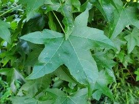 Sweet Gum (Liquidambar styraciflua) Leaf