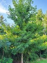 Sweet Gum (Liquidambar styraciflua) Tree