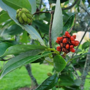 Sweet Bay Magnolia (Magnolia virginiana) Fruit