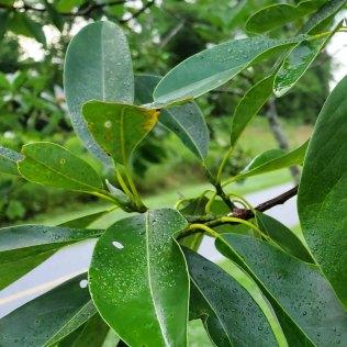 Sweet Bay Magnolia (Magnolia virginiana) Leaf