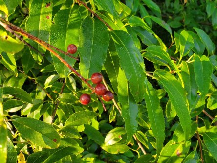 Black Cherry (Prunus serotina) Leaves and Berries