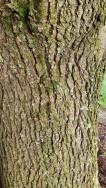 Callery pear (Pyrus calleryana*) Bark