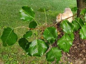 Callery Pear (Pyrus calleryana*) Leaves and Berries