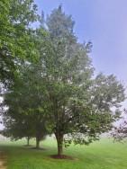 Callery pear (Pyrus calleryana*) Tree