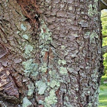 White Pine (Pinus strobus) Bark