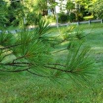 White Pine (Pinus strobus) Leaves