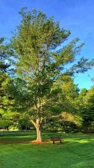 White Pine (Pinus strobus) Tree