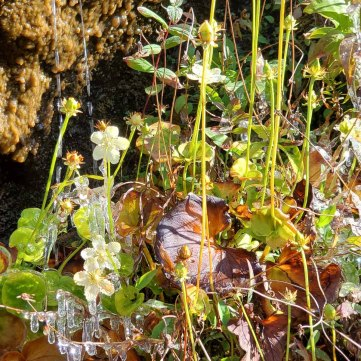 Grass-of-Parnassus & Icicles!