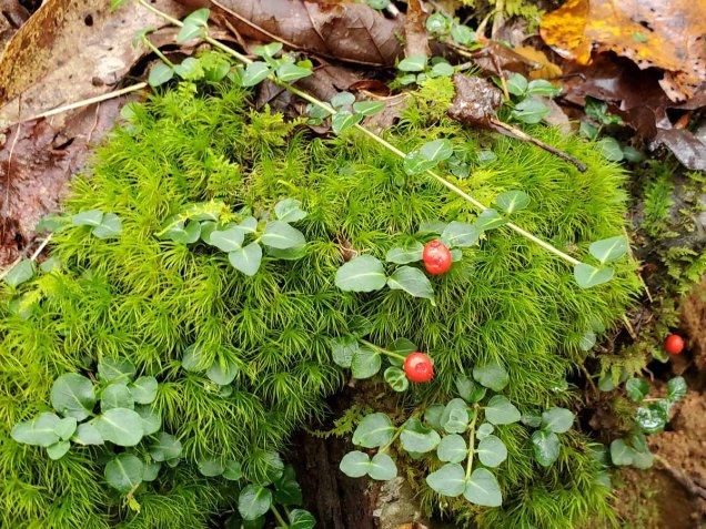 Partridge Berry (Mitchella repens) & a Windswept Moss (Dicranum sp.)