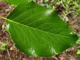 Callery Pear (Pyrus calleryana*) Leaf